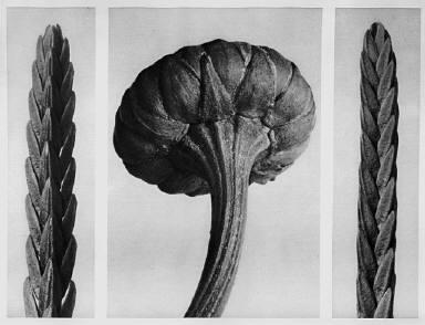 [Urformen der Kunst, Cassiope tetragona, Chrysanthemum Leucanthemum]