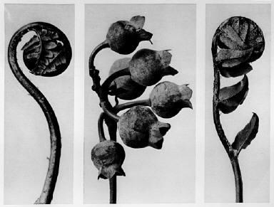 [Urformen der Kunst, Polypodiaceae Aspideae, Vaccinium corymbosum, Polystichum falactum]