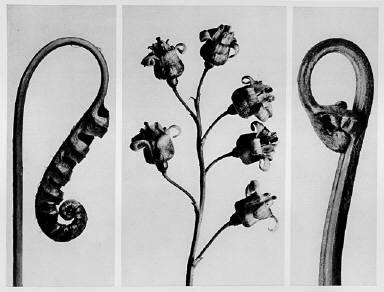 [Urformen der Kunst, Polypodium vulgare, Ribes Nigrum, Pteridium aquilinum]