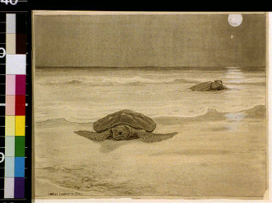 Sea tortoises coming ashore by night