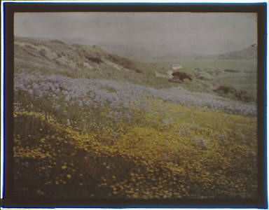 Flower-covered hill in the Carmel, California area
