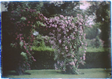 Garden with large flowering bushes