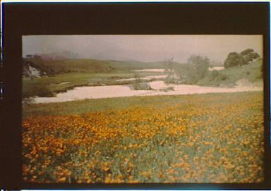 Field of California golden poppies