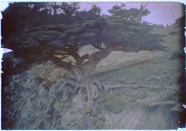 Cypress in the Carmel, California area