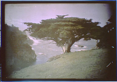 Cypress in the Carmel, California area