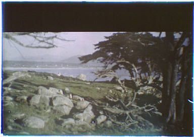 Cypress trees and seacoast in the Carmel, California area