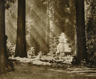 Redwood Solitude