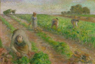 The Beet Harvest