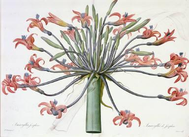 Amaryllis Josephinae from Les Liliacees