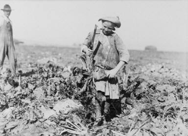 9-year-old Pauline Reiber, Topping Beets ... Near Sterling, Colorado