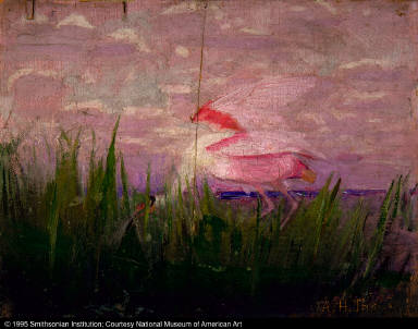 Roseate Spoonbill, study for book Concealing-Coloration in the Animal Kingdom
