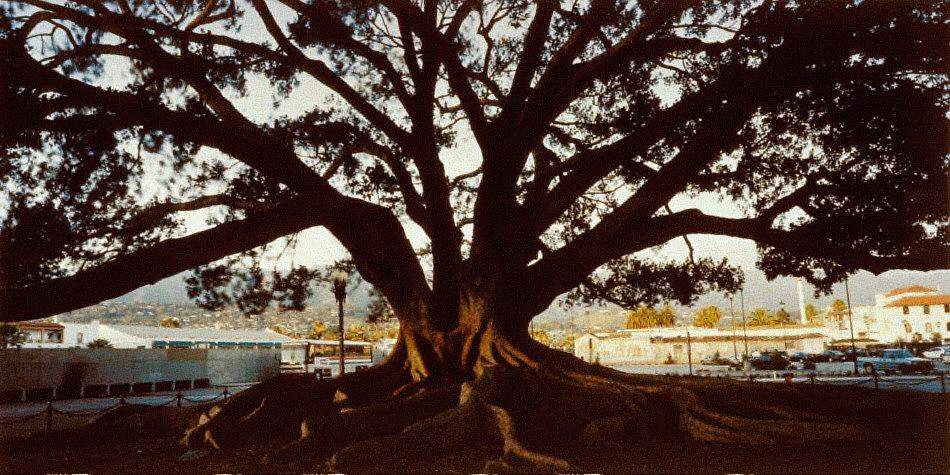 Largest Fig Tree in the United States, Santa Barbara, California