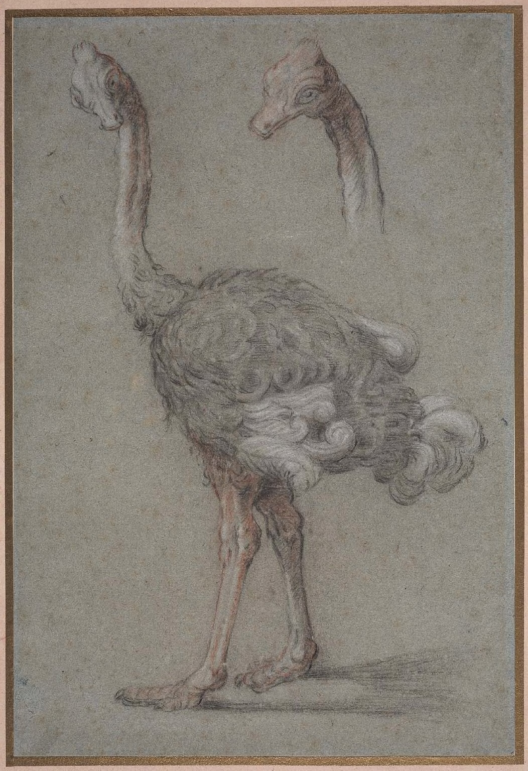 Two Studies of an Ostrich