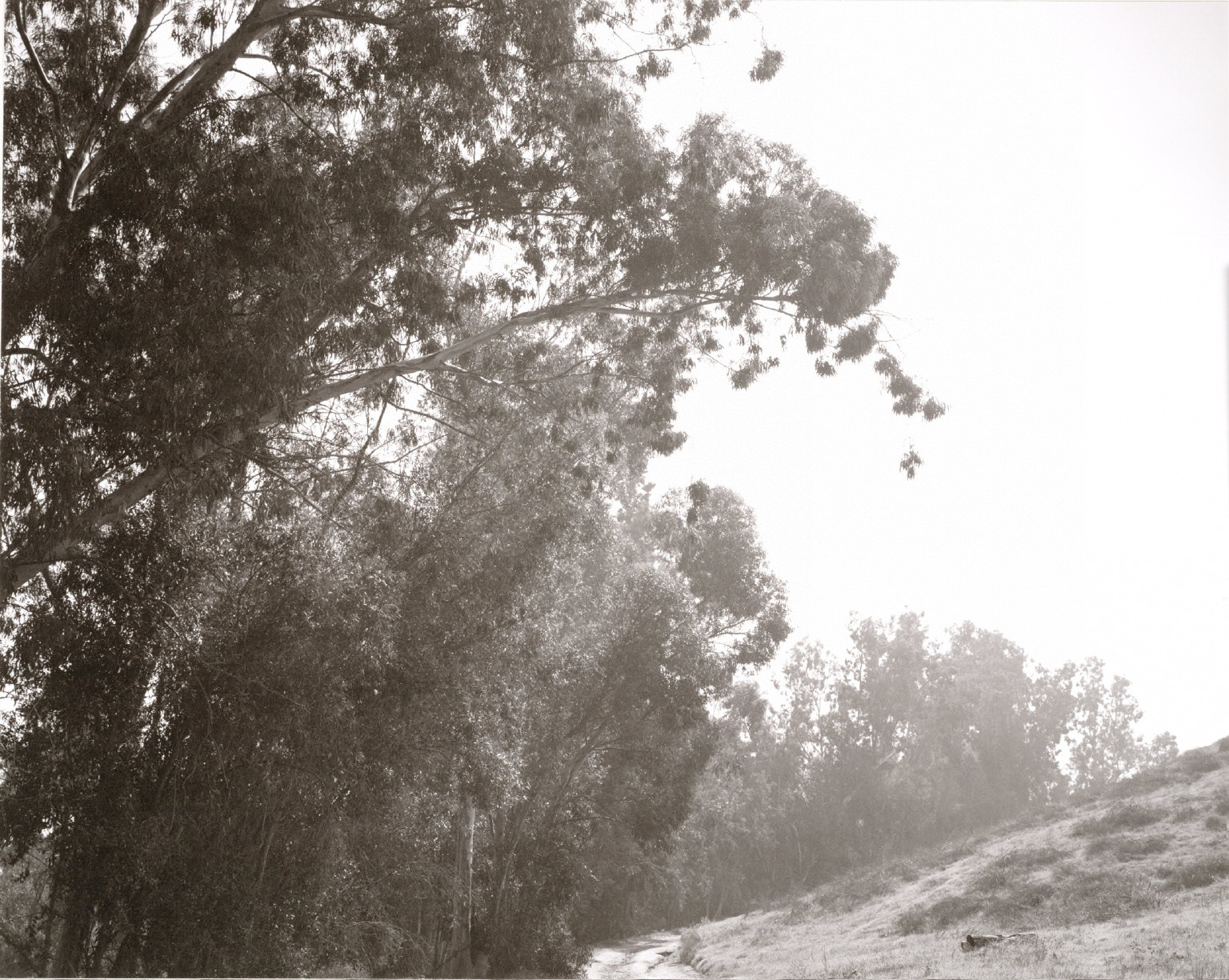 Eucalyptus Along Interstate 10, San Bernardino County, California