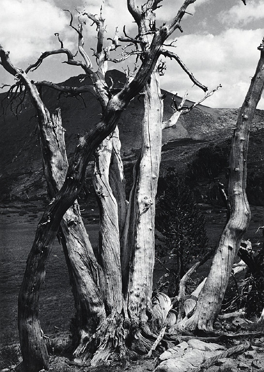Dead white bark pine near Mono Pass, Yosemite National Park