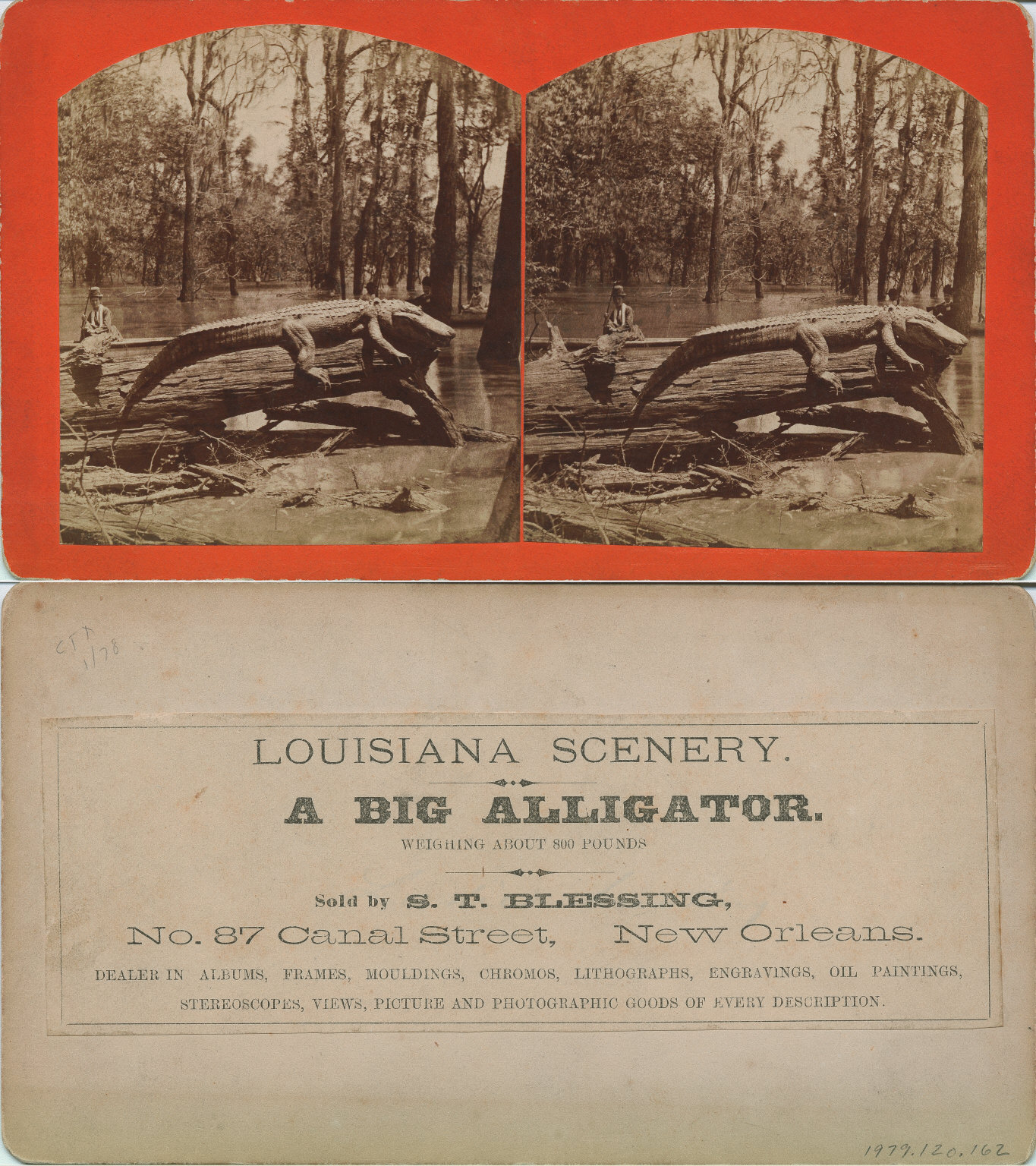 A big alligator