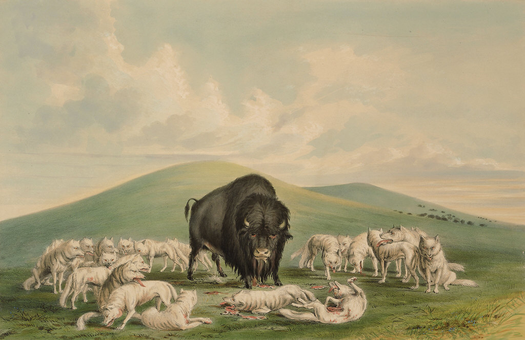 Buffalo Hunt, White Wolves Attacking a Buffalo Bull