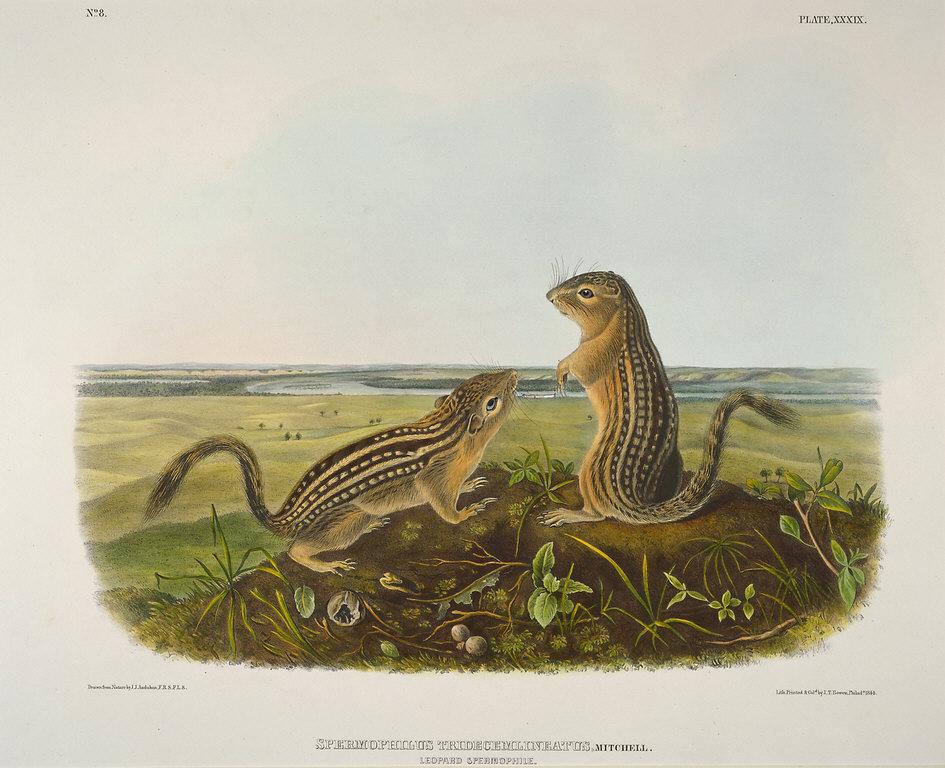 Leopard Spermophile (Spermophilus Tridecemlineatus) From Audubon's Quadrupeds of North America