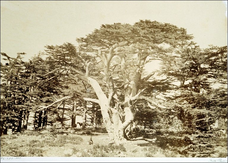 The Largest of the Cedars- Mount Lebanon