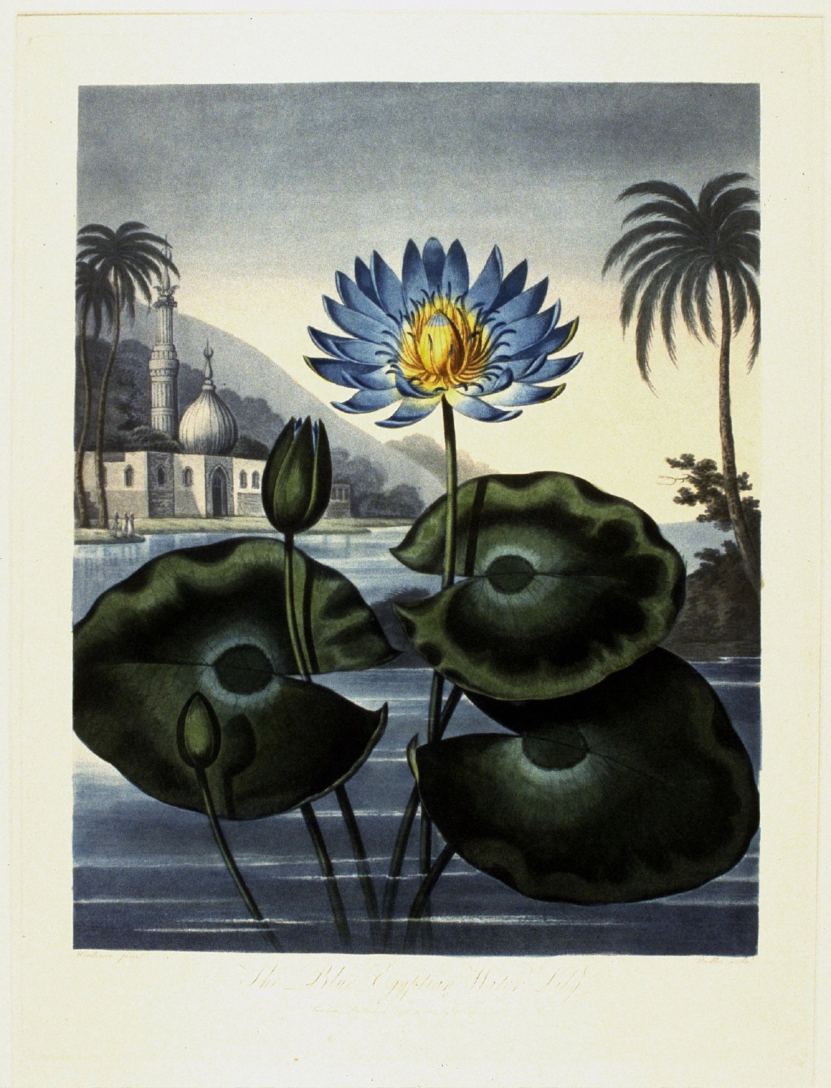 The Blue Egyptian Water Lily, from the book The Temple of Flora or Garden of Nature