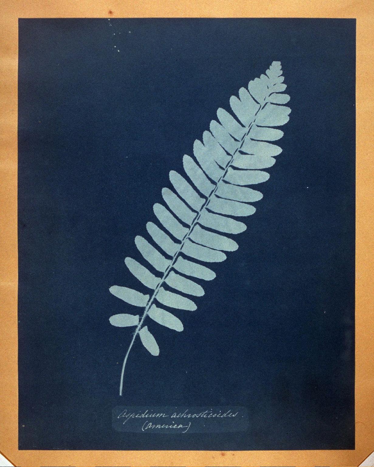 Aspidium Achrosticoides (America)
