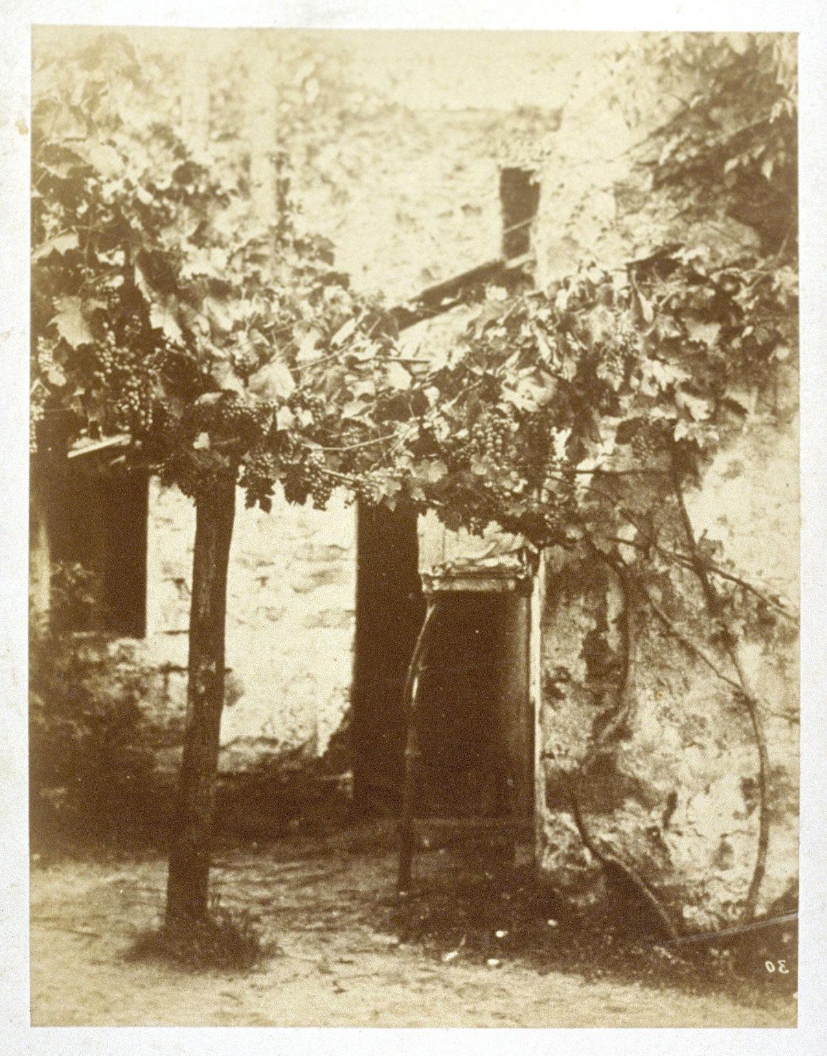 Untitled (grape vine)