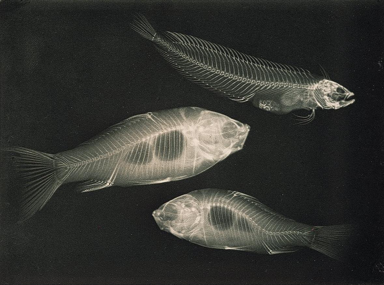 Zwei Goldfische und ein Seefisch (Christiceps argentatus).