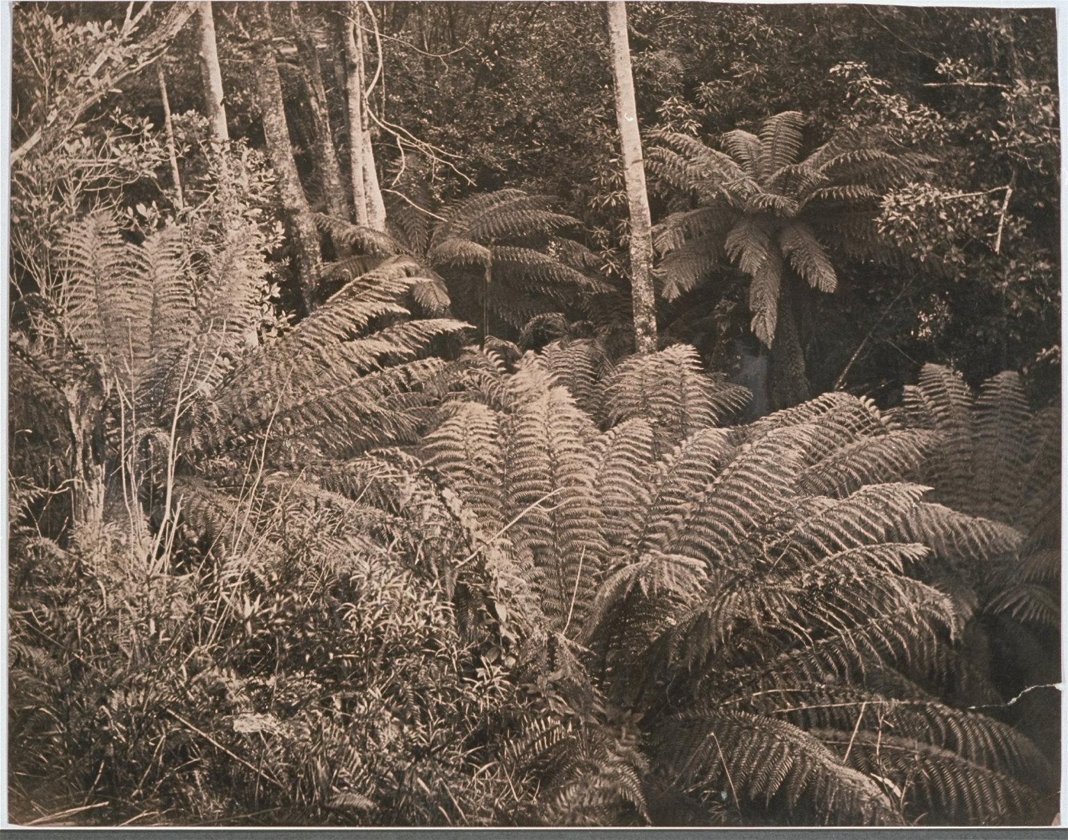 Ferns, Wellington Rivulet