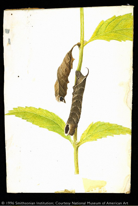 Curled-Dead-Leaf-Mimicking Sphinx Caterpillar (from book...)