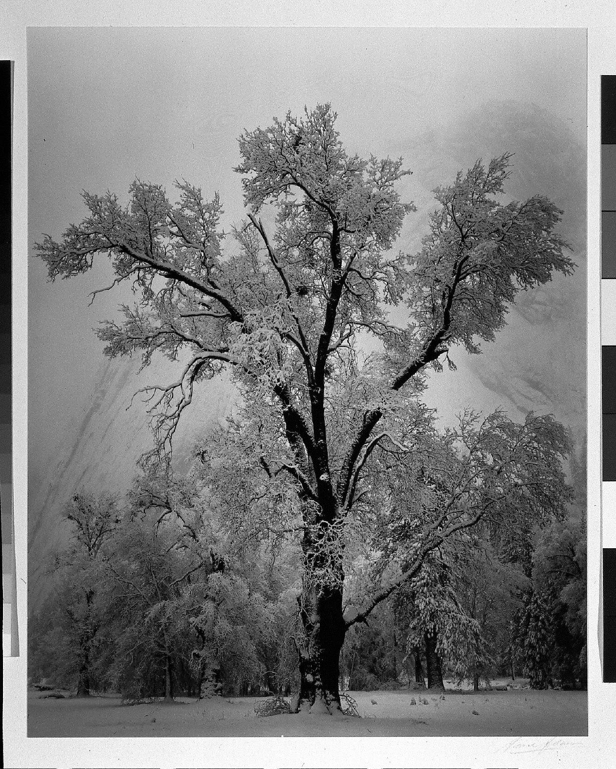 Oak Tree, Snow Storm, Yosemite