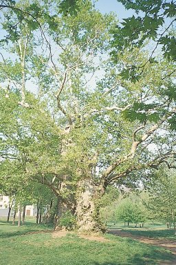 Valley of the plane trees
